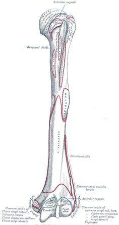 67 best Homework Help Anatomy images on Pinterest in 2018   Massage ...