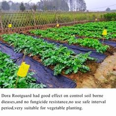 Dora Rootguard had good effect on control soil borne dieases,and no fungicide resistance,no use safe interval period,very suitable for vegetable planting.#doraagri #garden #gardener #gardening #tomatoes #urbanfarmer #backyardgarden #organicgarden #growyourownfood #greenthumb #fertilizer #soil #soilgrown #organic