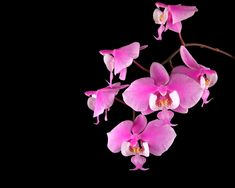 animal orchids/plants | Moth Orchid Phalaenopsis | Beautiful Orchids Care