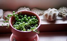 Comment faire des boutures de Seneçon de Rowley #bouture #senecio #seneciorowleyanus #plante #houseplante #perles #gardentips