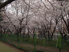 제주종합경기장 벚꽃축제