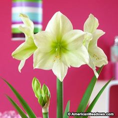Moonlight brings a greenish glow to amaryllis! And this is one of the specialty group that produces more flowers.