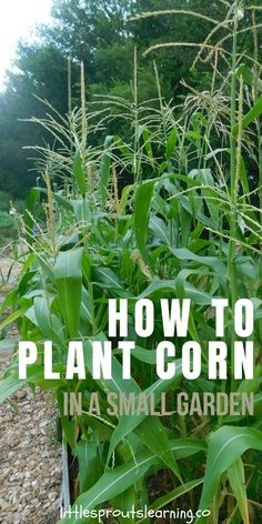 How to Plant Corn in a Small Garden Learning how to plant corn in your garden is simple. As long as you provide the plants enough water and keep the pests at bay, you'll have corn success! Olive Garden, Veg Garden, Garden Plants, Flower Gardening, How To Garden, Diy Garden Bed, Hydroponic Gardening, Indoor Gardening, Vegetable Gardening