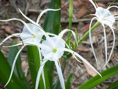 Spider Lily | Flickr - Photo Sharing!