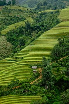 The green, green countryside of the Hill Tribe Village, Sapa Highlands, Lao Cai Province, Vietnam