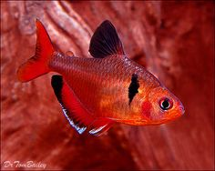 Serpae Tetra, a beautiful fish but too aggressive for many smaller fish.