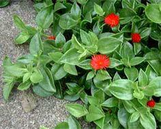 Plantas de cubresuelos o cubrepisos rastreros y colgantes defollaje de colores y de flor: