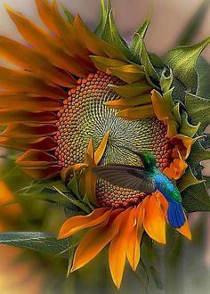 夏の花 : Hummingbird on Sunflower