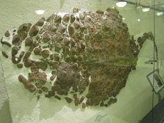 Sauropelta_armor.jpg (2000×1500) -Dinosauria, Ornithischia, Ankylosauria, Nodosauridae. Auteur : Christophe Hendrickx, 2012.