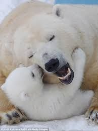Image result for baby polar bear images