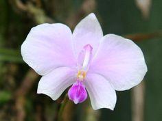 Phalaenopsis lowii | Phalaenopsis lowii