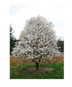 Royal Star Magnolia. 8-10' x 8-10'. Full sun. Blooms in spring.