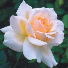 Rose Pink Hybrid Tea Rose Chandos Beaty - Bare Root