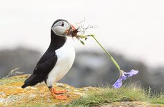Wildlife photographer Megan Lorenz photographed this puffin collecting flowers for nesting material in Newfoundland Canada Sea Birds, Love Birds, Beautiful Birds, Animals Beautiful, Cute Animals, Eagles, Puffins Bird, Newfoundland Canada, Little Birds