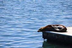 We came upon this lazy sea lion (dog mermaid?) just lounging in the sun in Moss Landing, CA Photo credit: @bradburytravelservices . . . #bradburytravelservices #mosslanding #california #montereybay #sealion #dogmermaid #estuary #pacific #ocean #dock #sun #sunbathıng #sundaygoals #nofilter #montereybaylocals - posted by Bradbury Travel Services https://www.instagram.com/bradburytravelservices - See more of Monterey Bay at http://montereybaylocals.com