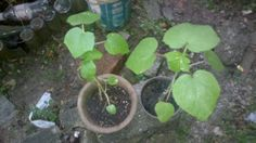 this is my okra plant...my plant already grow 2 weeks...