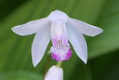 """Kuchibeni Hardy Chinese Orchid - Bletilla - 3"""""""" Pot"""
