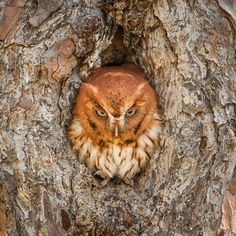 This Eastern Screech owl looks like it is clearly done with Monday. This funny photo of the owl was taken at Okefenokee National Wildlife Refuge in Georgia. Okefenokee is like no other place on earth, where natural beauty and wilderness prevail. It preserves the Okefenokee Swamp, providing vital habitats for birds, reptiles and other wildlife. Photo by Graham McGeorge (www.sharetheexperience.org).