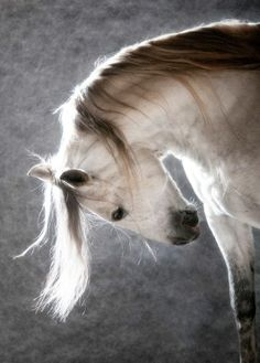 White horse on the dark background. White Andalusian horse on the dark backgroun , All The Pretty Horses, Beautiful Horses, Animals Beautiful, Beautiful Boys, Absolutely Gorgeous, Simply Beautiful, Animals And Pets, Cute Animals, Animals Images