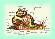anatomie de l'escargot
