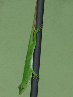 Gecko, Costa Rica