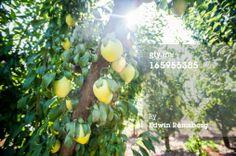 Stock Photo : plums