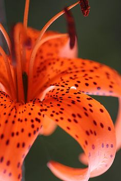 The tiger lily is a large orange flower that is covered with dark spots on its petals. The tiger lily can grow up to 3 inches across and has a strong, sweet scent. Tiger Lily Flowers, Orange Flowers, Orange Color, Orange Lily Flower, Tiger Lilly, Samsung Galaxy Wallpaper, Dark Autumn, Day Lilies, Beautiful Flowers