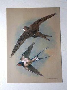 Bird Book Illustration - Stylized Swallows