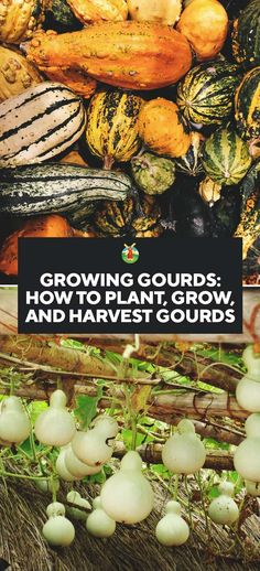 Here we share how to grow gourds with confidence. How to plant them, what you should do to care for them, harvest them, store them, and use them in different ways.