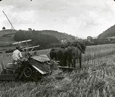 Harvesting Wheat in England