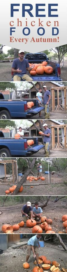 Pumpkins for chickens! Great way to use up those squishy gords.