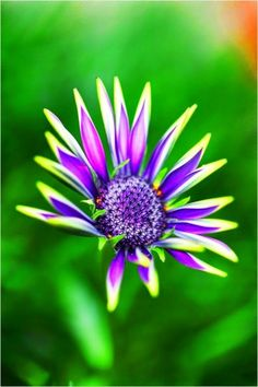 Purple Daisy Beautiful gorgeous pretty flowers