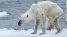 A photo of an emaciated polar bear has sparked debate over global warming. CNN's Jennifer Gray explains the impact global warming is having on the Arctic.