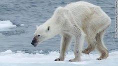 CNN's Jennifer Gray explains the impact global warming is having on the Arctic. http://edition.cnn.com/videos/weather/2015/09/14/polar-bear-arctic-climate-change-orig-mg-nws.cnn