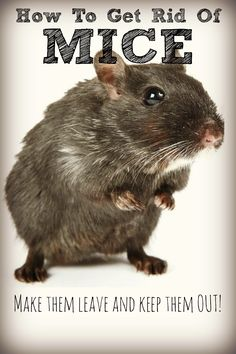 Mice pests on pinterest how to get rid mice and garden pests for How to keep mice out of garden