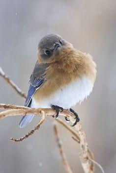 tiny-creatures: Female bluebird by Cheryl Rose Cute Birds, Pretty Birds, Beautiful Birds, Animals Beautiful, Animals And Pets, Cute Animals, Tier Fotos, Colorful Birds, Exotic Birds