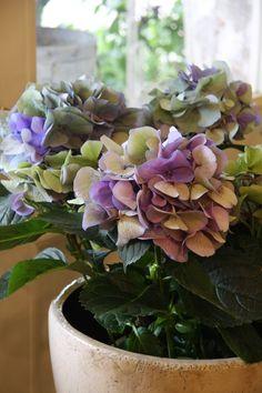 hydrangea Yamaguchi-purple