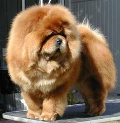 Chow Chow // Ch. Incipit Paramount Yankee Doodle   NetChows.com A properly groomed chow--beautiful