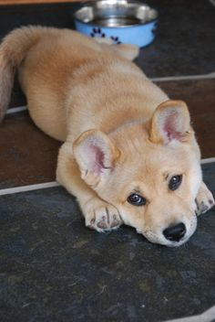 Corgi/Shiba Inu mix. A whole lot of cuteness in such a little package.