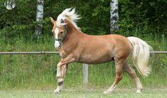 Nora Haflingerauf der Wiese im Galopp #Pferde#Pferdefotografie#Petra Taenzer