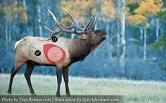 Blog: Bowhunting Elk – Shot Placement, Accuracy, and the Size of an Elk's Vitals - Sole Adventure