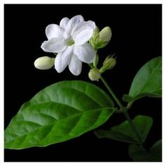 With an intoxicating fragrance and a graceful, elegant form, Jasmine is a must-have for any garden. Its waxy, star-shaped flowers emerge throughout the season, perfuming the air with a scent unlike any other. Equally at home both indoors and out, this evergreen vine thrives in containers and can be grown in any part of the country. Grow it on a trellis or stake, or allow the vine to gently cascade in a hanging basket. 'Arabian' is certain to turn heads no matter where it i...