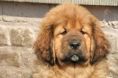 Mytraia Tibetan Mastiff, Dogs, Animals, Animales, Animaux, Pet Dogs, Doggies, Animal, Animais