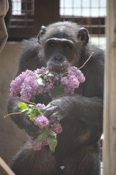 Wild Animals, Cute Baby Animals, Baby Chimpanzee, Orangutans, Primates, Monkeys, Animals Beautiful, Cute Babies, Teeth