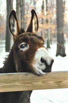Donkey Donkey, Baby Donkey, Cute Donkey, Baby Cows, Large Animals, Animals And Pets, Cute Animals, Miniature Donkey, Rainforest Animals