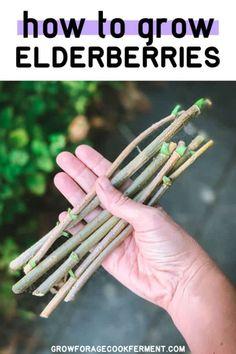Learn how to grow elderberries for food and medicine, right in your own backyard! Elderberries can be grown from cuttings, starts, or seeds. Elderberry Benefits, Diy Herb Garden, Edible Garden, Garden Ideas, Gardening Zones, Gardening Tips, Flower Gardening, Growing Herbs, Vegetable Garden Design