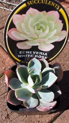 E. 'White Rose' purchased 8.07.15