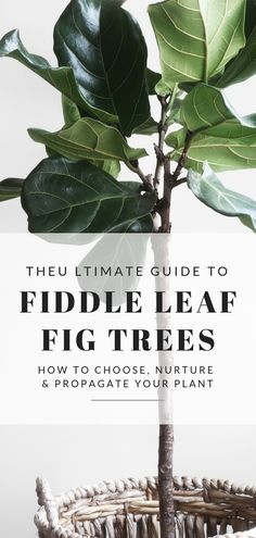 Find out how to choose, care for and propagate your very own Fiddle Leaf Fig Tree. These plants are perfect indoor plants, and look beautiful in living rooms. This Ultimate Guide is filled with tips on growing and repotting your tree. Indoor Tree Plants, Hanging Plants, Trees To Plant, Fig Plant Indoor, Tree Planting, Hanging Baskets, Interior Design Magazine, Fig Leaf Tree, Fig Leaves