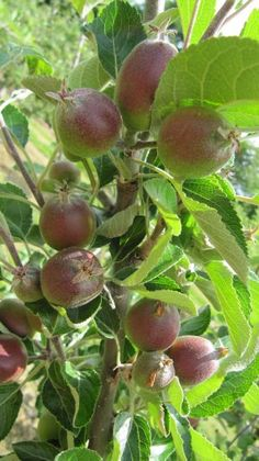 Young (unripe) apples on tree
