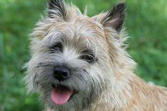 Cairn Terrier - Bing Images